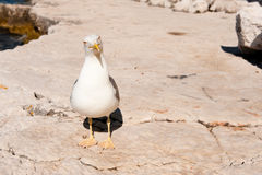 White seagull standing on stones. Of sea shore and looking at camera Royalty Free Stock Photos
