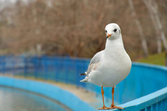 White seagull stands. One white seagull on the blue fence Stock Photo