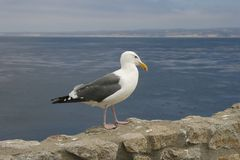 White seagull on the stone fence on the beach. Close up portrait of white seagull walking on the stone near the sea Royalty Free Stock Image
