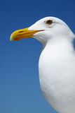 White Seagull under the Bright Blue Sky Stock Photo