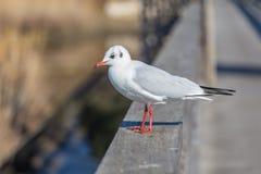 White seagull Royalty Free Stock Image