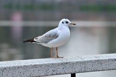 White Seagull on the white railing Royalty Free Stock Image