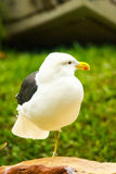 White seagull. A white seagull with yellow beak. Standing on one leg royalty free stock photos