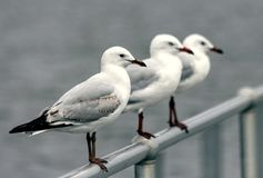 White Seagulls on Fence. Gulls, often referred to as seagulls, are seabirds of the family Laridae in the suborder Lari. They are most closely related to the Royalty Free Stock Photo
