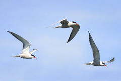 white seagulls in flight on a blue sky background Royalty Free Stock Image