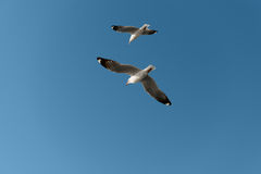White seagulls fly in the bright blue sky Stock Photography