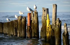 White seagulls with gray wings on old breakwaters. Old breakwater. White gulls with gray wings. Old wooden breakwater. Baltic Sea. Gulls are standing on the stock photography