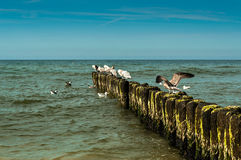 White seagulls. White gulls sitting on a breakwater in the summer royalty free stock photo
