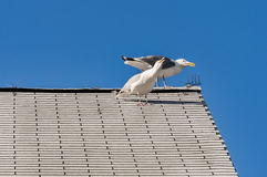 White seagulls on a roof Stock Image