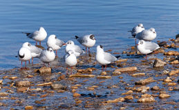 Seagulls on the sea coast Royalty Free Stock Images