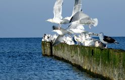 White seagulls starting. Old breakwater. Gulls starting. Old breakwater. White gulls with gray wings. They start to fly. Old wooden breakwater. Baltic Sea stock photos