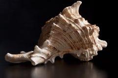 White seashell. (Chicoreus ramosus)on a black background Royalty Free Stock Photo