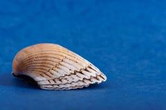 Seashell on a blue background. White seashell on a blue background royalty free stock image