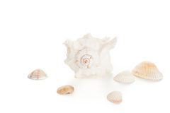White seashell and clams Royalty Free Stock Photography