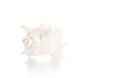 White seashell Stock Photos