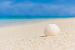 White seashell in the sand on the beach. In front of blue ocean Royalty Free Stock Photo