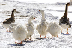 White Sebastpol Geese and Brown Geese In Snow stock images