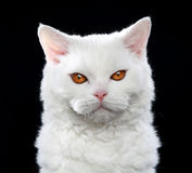 White Selkirk rex cat Stock Images