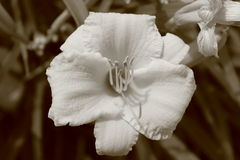 White Sepia Flower Royalty Free Stock Photography