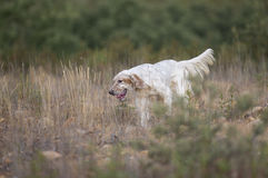 White setter running Royalty Free Stock Photography