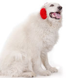 White severe with red ear muff Stock Photo