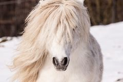 White sexy Pony. Rottweiler in snow in winter in ZOO Liberec Royalty Free Stock Image