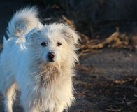 White shaggy homeless bolognese dog on blurred background.  royalty free stock photo