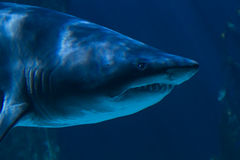 A white shark Royalty Free Stock Image