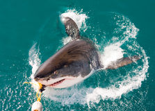 White Shark. Great White Shark, Carcharodon carcharias (South Africa Stock Image