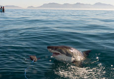 White Shark attack. Great White Shark (Carcharodon carcharias) attack stock photography