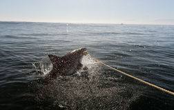 White shark attack. Great white shark attack. South Africa stock photography