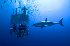 White shark, cage. Great white shark swims around the cage stock photos