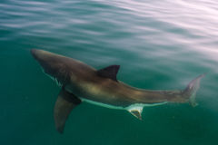 White shark (Carcharodon carcharias). In the water. Atlantic ocean Royalty Free Stock Photo