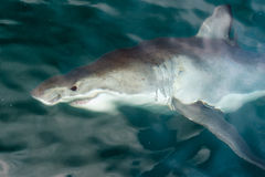 White shark (Carcharodon carcharias). In the water. South Africa. Atlantic Ocean Royalty Free Stock Photos