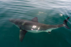 White shark (Carcharodon carcharias) in the water Royalty Free Stock Image