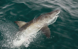 White shark (Carcharodon carcharias) in the water Stock Photography