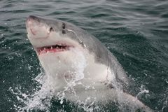 White shark coming out of the Stock Images