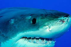 White shark after fight royalty free stock images