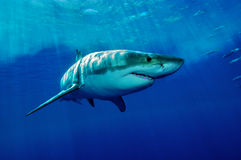 White Shark. Great white shark from Guadalupe Iceland in the deep blue water royalty free stock image