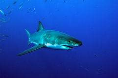 White Shark swimming royalty free stock photography