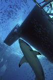 White shark under the boat. Great white shark swims around the boat Royalty Free Stock Photo