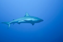 White Shark underwater caribbean sea Royalty Free Stock Images