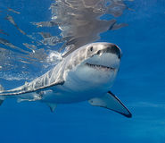 White Shark Underwater. Close up view of a great white shark swimming near the surface, Guadalupe Island Mexico Stock Photo