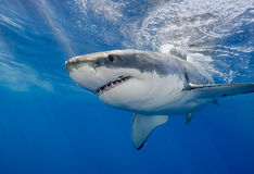 White Shark Underwater Stock Photos