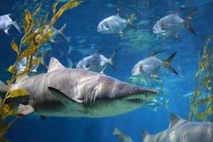White Shark Underwater royalty free stock image