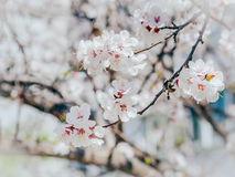 White sharp and defocused flowers blooming tree. Apricot flowers. Beautiful springtime. Watercolor background. Blooming tree branc royalty free stock photos