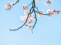 White sharp and defocused flowers blooming tree. Copy space. Watercolor background. Blooming tree branches with white flowers. royalty free stock images