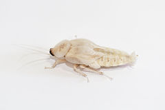 Deaths Head Cockroach Nymph Stock Image