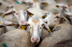 White sheep. In the flock Royalty Free Stock Photography