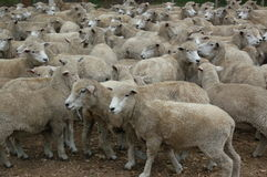 White Sheep. Sheep herding in a ranch in Uruguay Stock Image